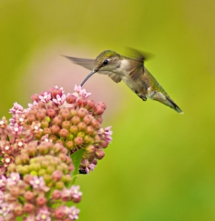 Ruby-Throated Hummimgbird - (Archilochus colubris)