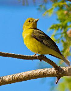 Scarlet Tanager (female)