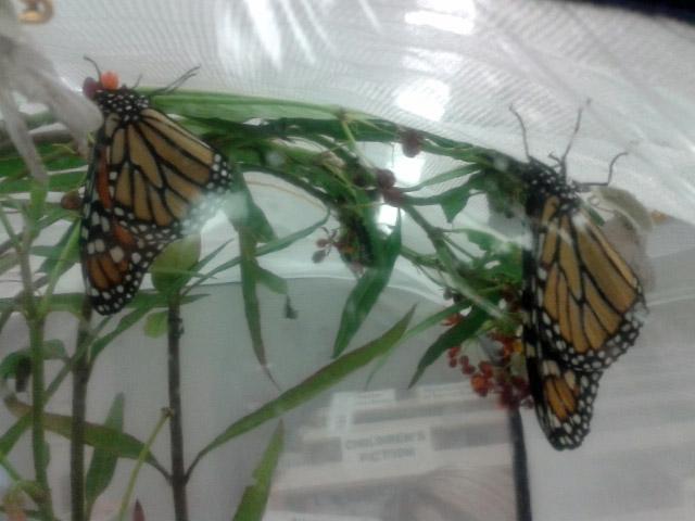2014 09 10 Butterflies