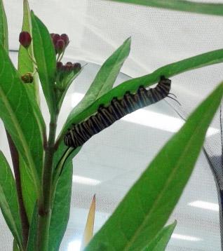 monarchs0918c