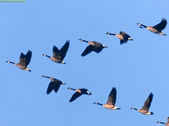 Migratory Species In Focus Canada Goose Branta