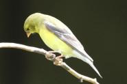 2M7A0844a6 Goldfinch female