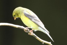 2M7A0844a6 Goldfinch female