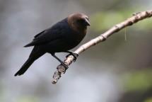 2M7A0854a6 Brown Headed Cowbird male