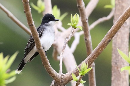 2M7A0943a6 Eastern Kingbird