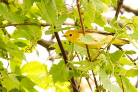 2M7A1043a6 Yellow Warbler