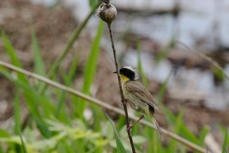 2M7A1079a6 Common Yellow Throat Warbler