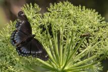 2M7A2110a6 Butterfly4