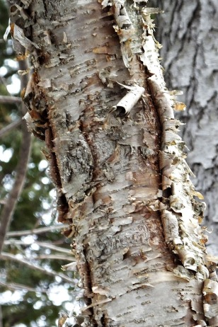Yellow Birch. Photo by B.Grant