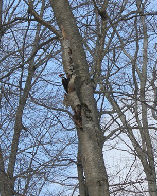 PileatedWoodpecker_STaylor_crop