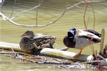 Ducks, BGrant