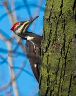 Pileated Woodpecker - (Dryocopus pileatus)