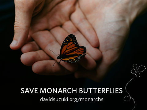 """The David Suzuki Foundation wants us to """"Save monarch butterflies before it's toolate"""""""