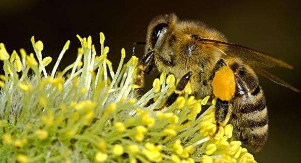 Probiotics Could Improve Survival Rates in Honey Bees Exposed to Pesticide