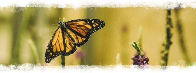 monarch_on_flower_EM1-cropped-texture