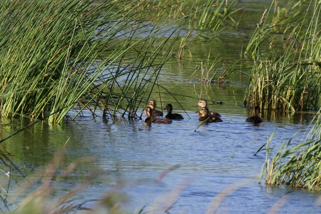 2M7A5225a6 baby ducks