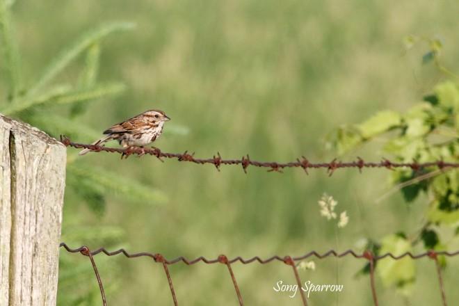 2M7A5287a6 song sparrow