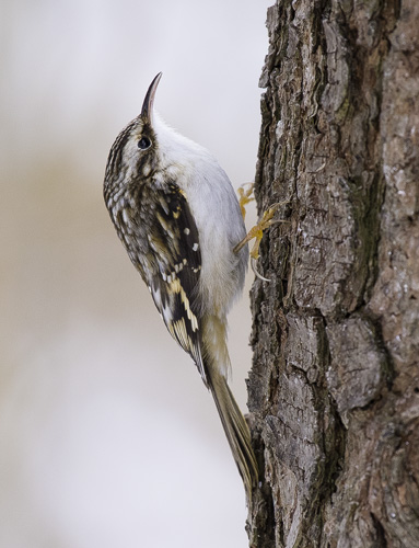 Brown Creeper - (Certhia americana)