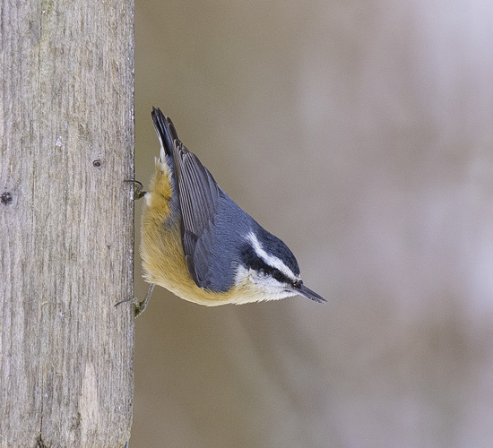 Red-Breasted Nuthatch - (Sitta canadensis)